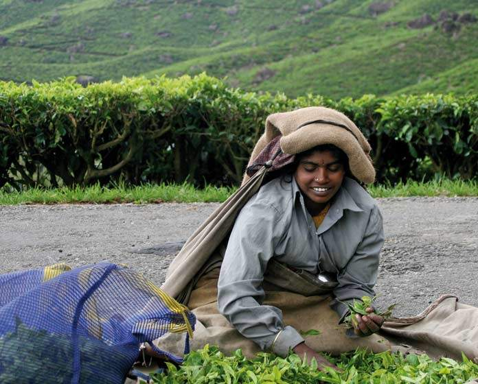 Munnar- lady plucking tea leaves