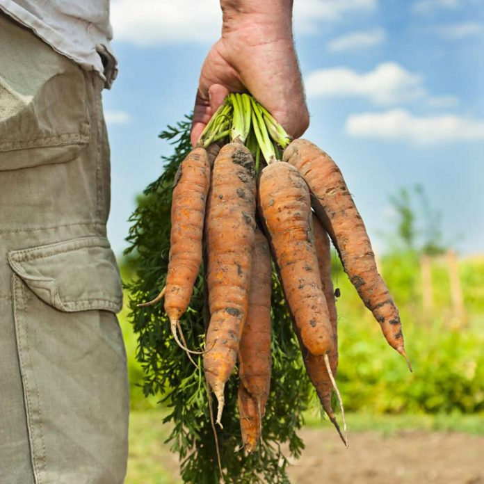 Carrots from field