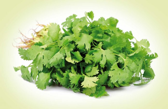 fresh bunch of coriander