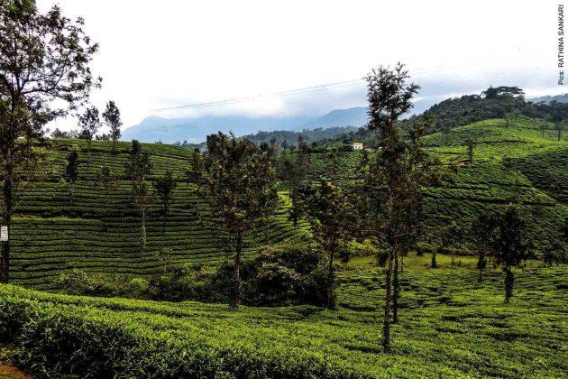 lush greenery in Wayanad