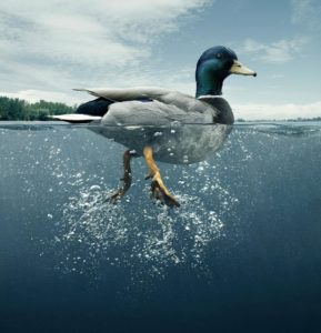 Ducks seem serene on the surface, but are paddling furiously underneath