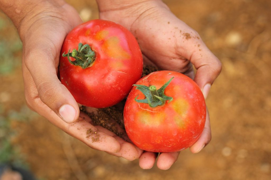 Health benefits of gardening: harvesting tomatoes in your home garden